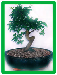 bonsai-ligustrum