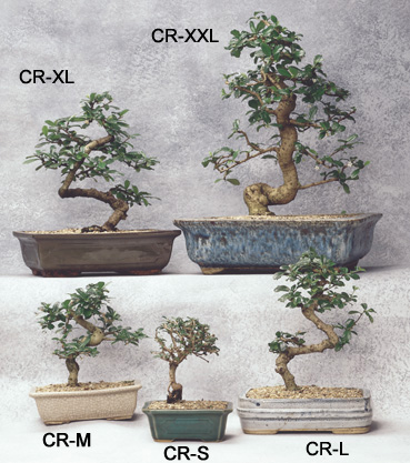 Bonsai trees asia pacific gardening originates from southern china and other parts of southeast asia and is tropical fukien tea is evergreen and shiny it has tiny flowers throughout mightylinksfo